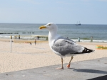 Seagull - Mistress of Beach