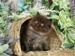 Kitty in basket