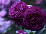 Amazing Purple Roses