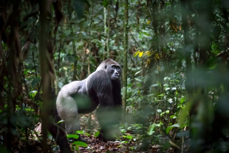 Silverback Gorilla from the Republic of Congo - primate, gorilla, trees, animals