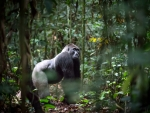 Silverback Gorilla from the Republic of Congo