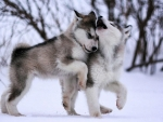 Husky Playing