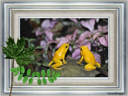 YELLOW FROGS - FROGS, YELLOW, TWO, IMAGE