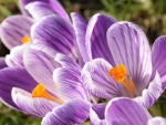 BEAUTIFUL CROCUSES