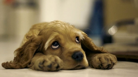 Sad Eyes Cocker Spaniel Dogs Animals Background Wallpapers On