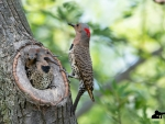 Northern Flickers on Nest