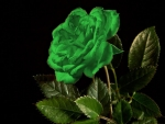 Lovely Green Rose