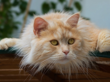 Red Fluffy Cat - look, fluffy, cat, eyes, muzzle, animal, kote