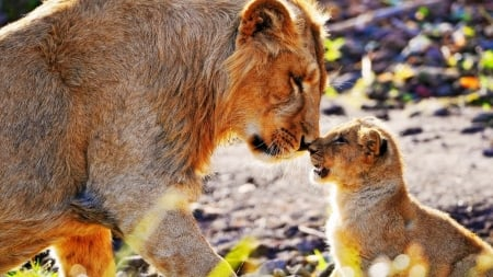 Lions - cub, wildlife, mother, love