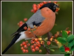 BULLFINCH EATING
