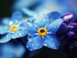 Dew Forget Me Not Flowers