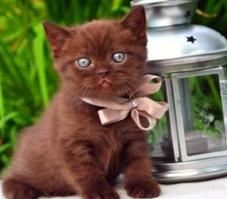 Chocolate Blue Eyed Kitten - Kitten, Blue Eyed, Chocolate, Bow