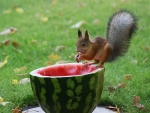 Watermelon And Squirrel