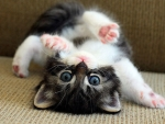 cute playing kitten