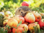Hedgehog and Apple Harvest