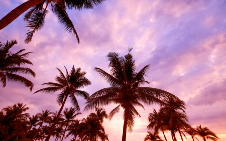Palm trees - vara, summer, silhouette, pink, sky, palm tree, blue