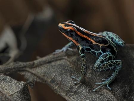 Poison Frog Wallpaper