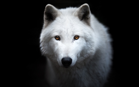 White Wolf Dogs Amp Animals Background Wallpapers On