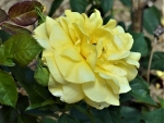 Gorgeous Yellow Rose