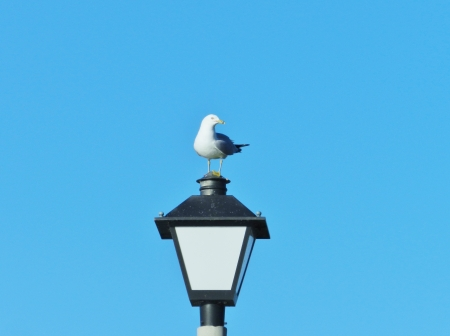 Seagull On A Lantern - Summer, Seagull, Photography, Bird, Lantern
