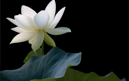 White Lotus Flowers Nature Background Wallpapers On Desktop