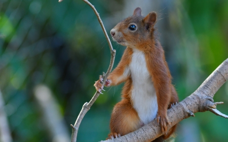 Squirrel - animal, cute, veverita, squirrel