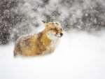 Fox in Winter Snowstorm