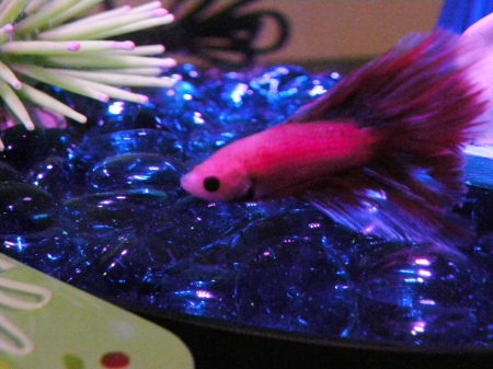 Is That A Tin Can Over There? - Betta Fish, Photography, Pink FIsh, Blue, Animals