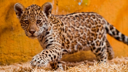 Little Jaguar - predator, cub, cute, cat