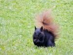 Black Squirrel In  Summer