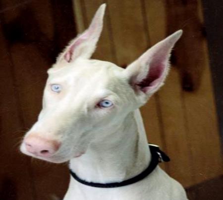 Albino doberman blue eyes
