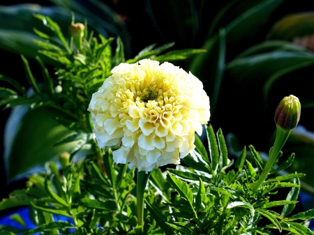 Cream White Marigold Flowers Nature Background Wallpapers On