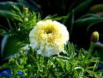 Cream white Marigold