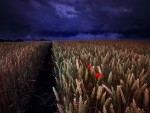 Poppy & Wheat Field in Summer Night