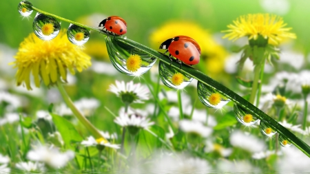 Ladybugs - red, yellow, daiy, ladybug, green, water drops, summer, flower, white, field, daisy