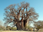 Protected And Rare Baobab Tree