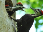 Ivory Billed  Woodpecker With Babies
