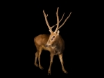 Pere David's deer - extinct in the wild