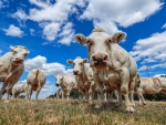 Cows stand in a field near the village of Hargimont, Belgium on August 11, 2018