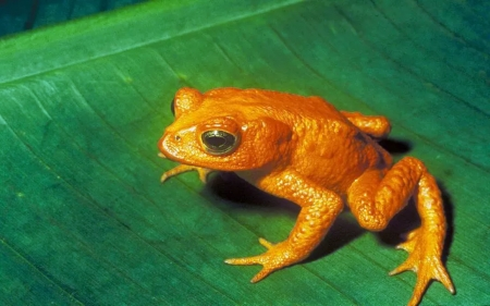 Recent Extinct Golden Frog 1989