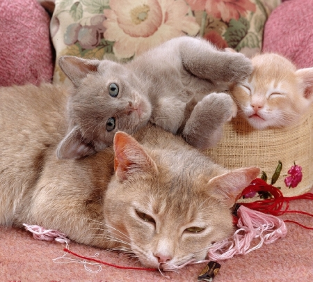 mother cat and kittens - kittens, cats, animals, mother cat