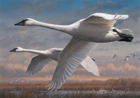 swans-in-flight-flying-in-a-wedge