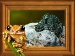 FROGS ON ROCK