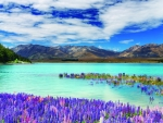Lake Tekapo with lupin flowers