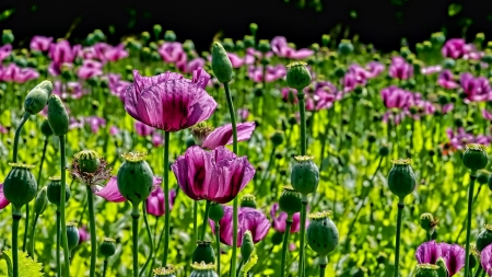 Tulips - Tulips, Flowers, Meadow, Nature