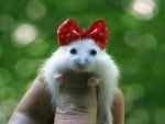 Hamster With Bow