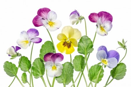 Pansies - green, texture, yellow, flower, pansy, pink, viola tricolor