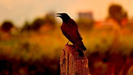 fall raven birds animals background wallpapers on desktop nexus