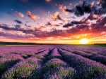 Sunset over purple fields