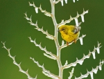 Yellow Warbler in Frozen Tree